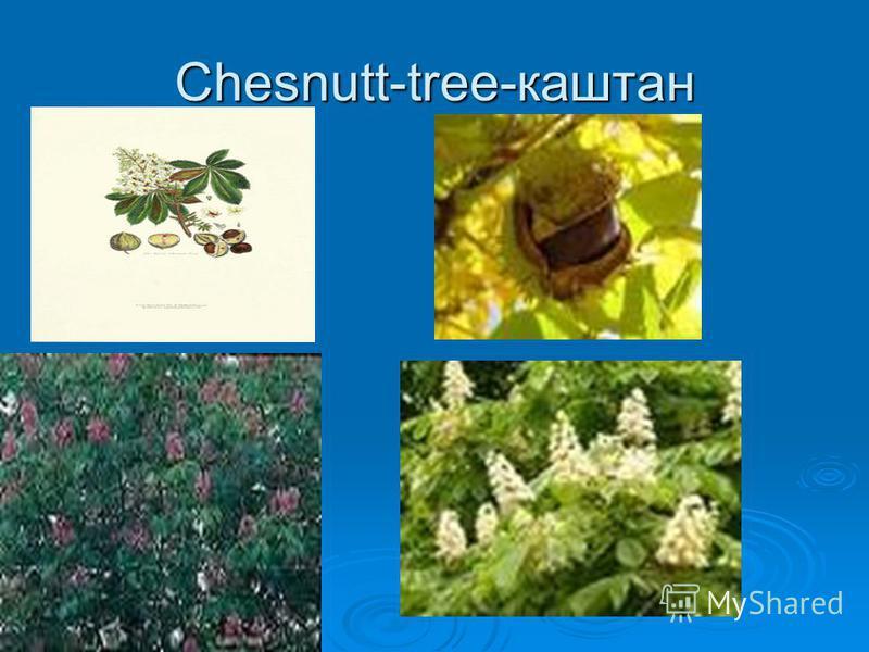 Chesnutt-tree-каштан