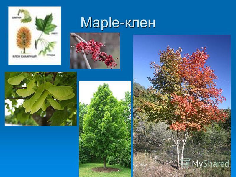 Maple-клен