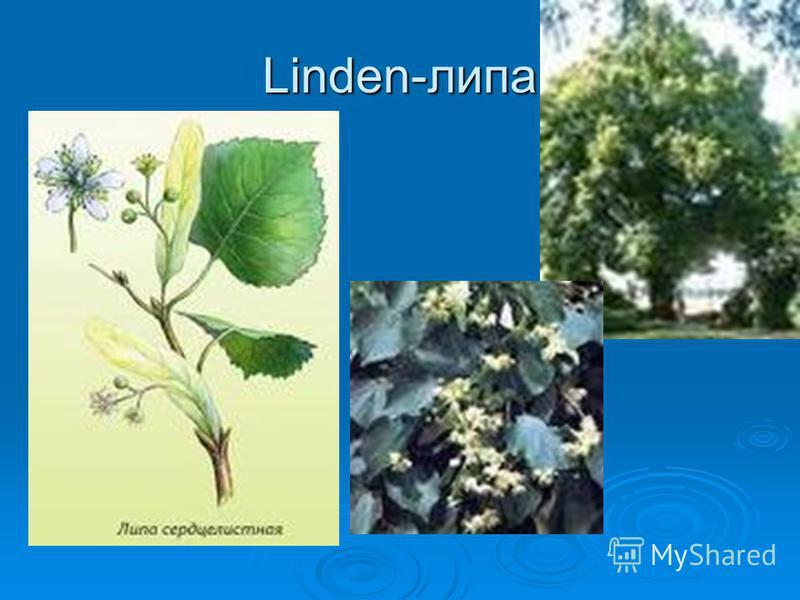 Linden-липа