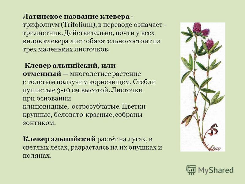 Латинское название клевера - трифолиум (Trifolium), в переводе означает - трилистник. Действительно, почти у всех видов клевера лист обязательно состоит из трех маленьких листочков. Клевер альпийский, или отменный многолетнее растение с толстым ползу