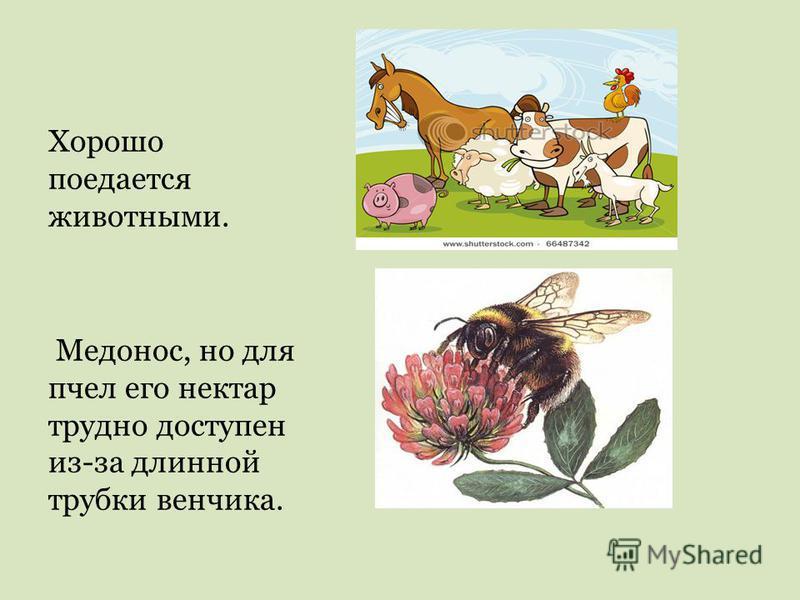 Хорошо поедается животными. Медонос, но для пчел его нектар трудно доступен из-за длинной трубки венчика.