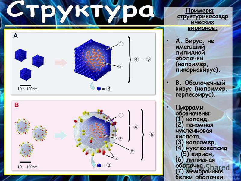 Примеры структур икосаэдр ических вирионов: А. Вирус, не имеющий липидной оболочки (например, пикорнавирус). B. Оболочечный вирус (например, герпесвирус). Цифрами обозначены: (1) капсид, (2) геномная нуклеиновая кислота, (3) капсомер, (4) нуклеокапси