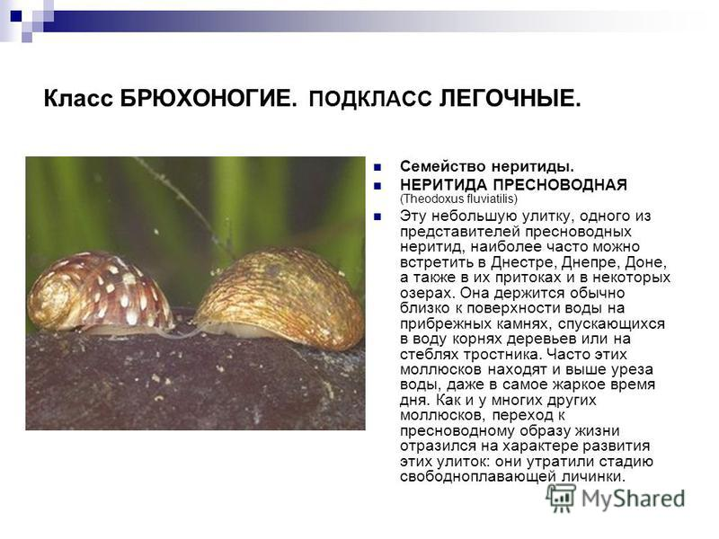 Класс БРЮХОНОГИЕ. ПОДКЛАСС ЛЕГОЧНЫЕ. Семейство неритиды. НЕРИТИДА ПРЕСНОВОДНАЯ (Theodoxus fluviatilis) Эту небольшую улитку, одного из представителей пресноводных неритид, наиболее часто можно встретить в Днестре, Днепре, Доне, а также в их притоках
