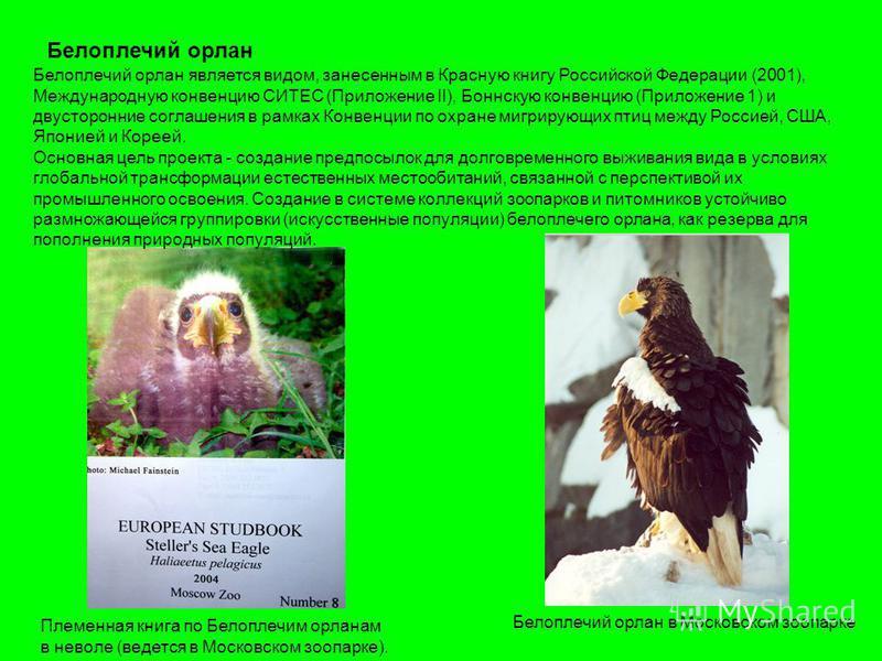 Белоплечий орлан Белоплечий орлан является видом, занесенным в Красную книгу Российской Федерации (2001), Международную конвенцию СИТЕС (Приложение II), Боннскую конвенцию (Приложение 1) и двусторонние соглашения в рамках Конвенции по охране мигрирую