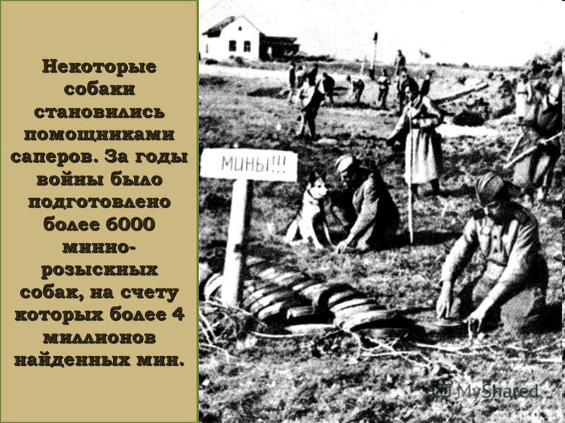 Некоторые собаки становились помощниками саперов. За годы войны было подготовлено более 6000 минно- розыскных собак, на счету которых более 4 миллионов найденных мин.