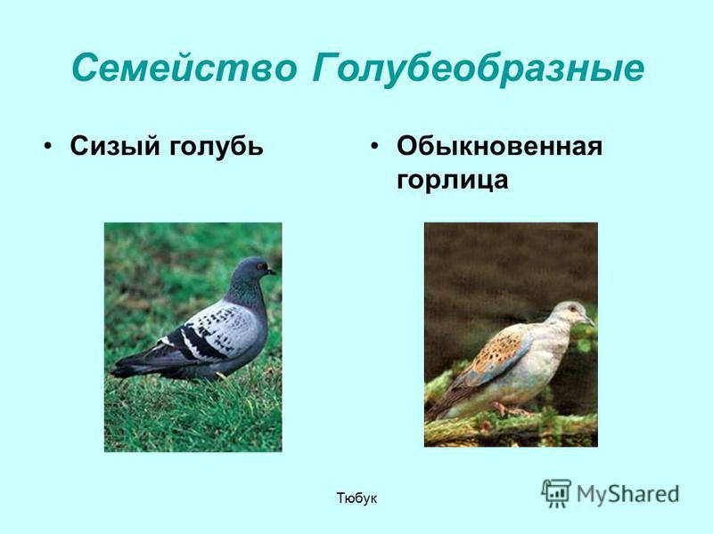 Семейство Голубеобразные Сизый голубь Обыкновенная горлица Тюбук
