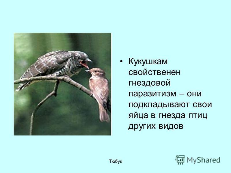 Кукушкам свойственен гнездовой паразитизм – они подкладывают свои яйца в гнезда птиц других видов Тюбук