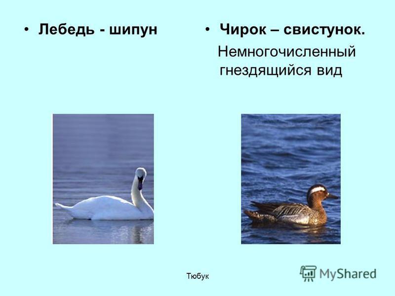 Лебедь - шипун Чирок – свистунок. Немногочисленный гнездящийся вид Тюбук