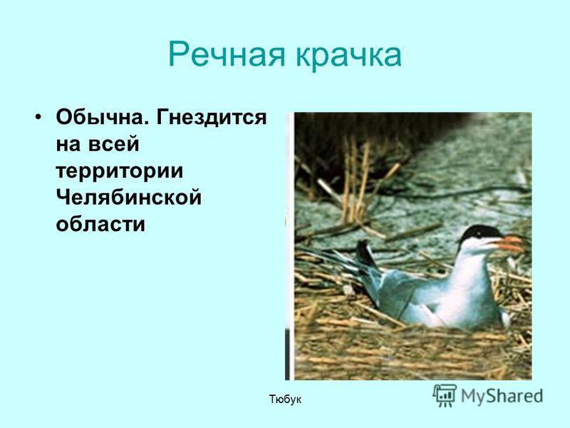 Речная крачка Обычна. Гнездится на всей территории Челябинской области Тюбук