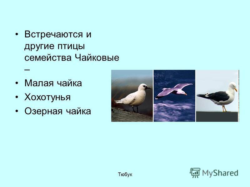 Встречаются и другие птицы семейства Чайковые – Малая чайка Хохотунья Озерная чайка Тюбук