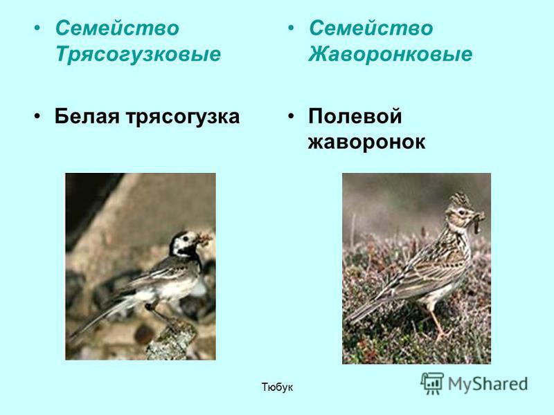 Семейство Трясогузковые Белая трясогузка Семейство Жаворонковые Полевой жаворонок Тюбук
