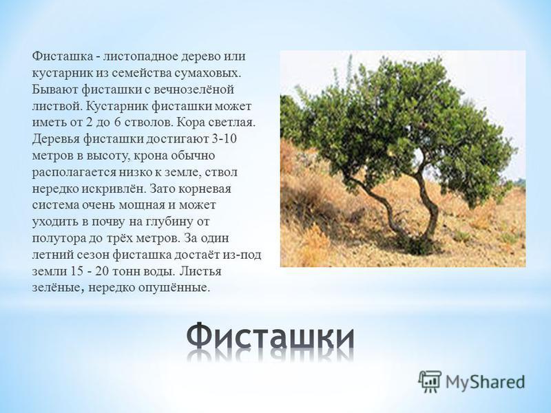 Фисташка - листопадное дерево или кустарник из семейства сумаховых. Бывают фисташки с вечнозелёной листвой. Кустарник фисташки может иметь от 2 до 6 стволов. Кора светлая. Деревья фисташки достигают 3-10 метров в высоту, крона обычно располагается ни