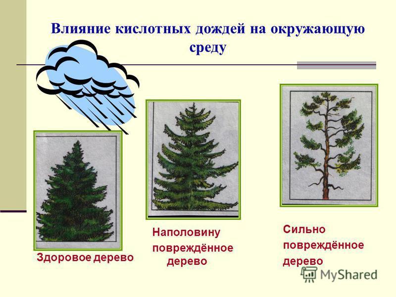 Влияние кислотных дождей на окружающую среду Здоровое дерево Наполовину повреждённое дерево Сильно повреждённое дерево