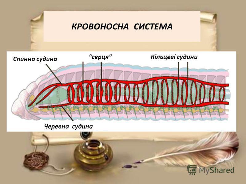 КРОВОНОСНА СИСТЕМА Черевна судина Спинна судина серцяКільцеві судини
