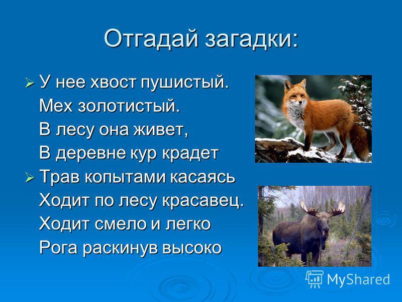Отгадай загадки: У нее хвост пушистый. У нее хвост пушистый. Мех золотистый. Мех золотистый. В лесу она живет, В лесу она живет, В деревне кур крадет В деревне кур крадет Трав копытами касаась Трав копытами касаась Ходит по лесу красавец. Ходит по ле