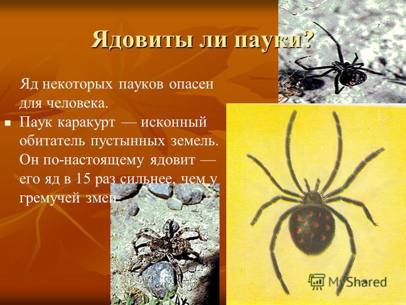 Ядовиты ли пауки? Яд некоторых пауков опасен для человека. Паук каракурт исконный обитатель пустынных земель. Он по-настоящему ядовит его яд в 15 раз сильнее, чем у гремучей змеи.