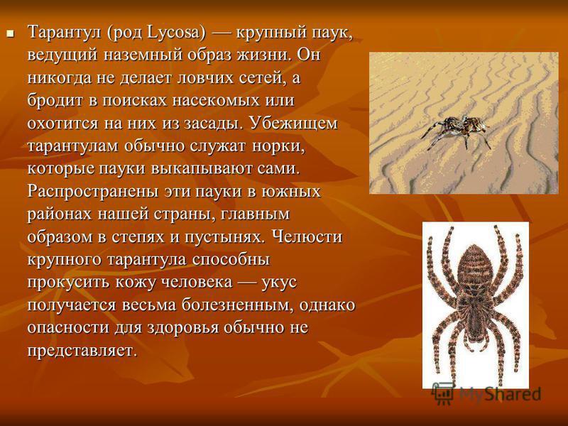 Тарантул (род Lycosa) крупный паук, ведущий наземный образ жизни. Он никогда не делает ловчих сетей, а бродит в поисках насекомых или охотится на них из засады. Убежищем тарантулам обычно служат норки, которые пауки выкапывают сами. Распространены эт