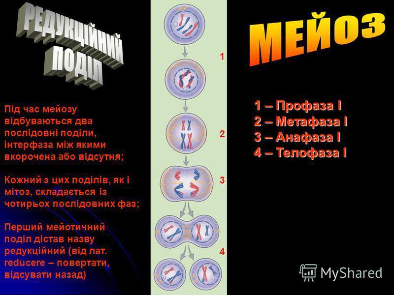 Мейоз (від грец. – зменшення) – особливий спосіб поділу статевих клітин, унаслідок якого їхній хромосомний набір зменшується вдвічі Мейоз (від грец. meiosis – зменшення) – особливий спосіб поділу статевих клітин, унаслідок якого їхній хромосомний наб