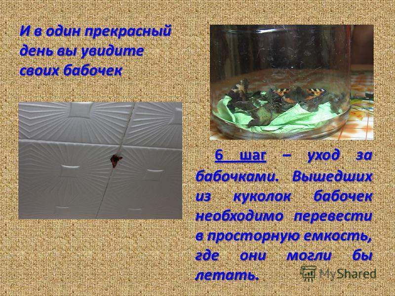 И в один прекрасный день вы увидите своих бабочек 6 шаг – уход за бабочками.Вышедших из куколок бабочек необходимо перевести в просторную емкость, где они могли бы летать. 6 шаг – уход за бабочками. Вышедших из куколок бабочек необходимо перевести в