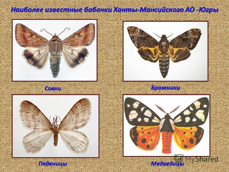 Наиболее известные бабочки Ханты-Мансийского АО -Югры Совки Бражники Пяденицы Медведицы