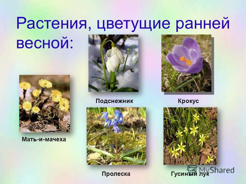 Растения, цветущие ранней весной: Мать-и-мачеха Подснежник Крокус Пролеска Гусиный лук