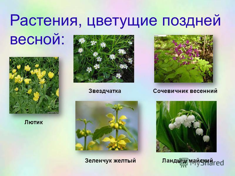Растения, цветущие поздней весной: Лютик Звездчатка Сочевичник весенний Зеленчук желтый Ландыш майский