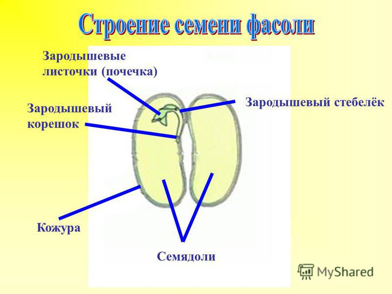 Зародышевый корешок Кожура Семядоли Зародышевый стебелёк Зародышевые листочки (почечка)