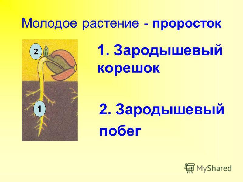 Молодое растение - проросток 2 1 1. Зародышевый корешок 2. Зародышевый побег