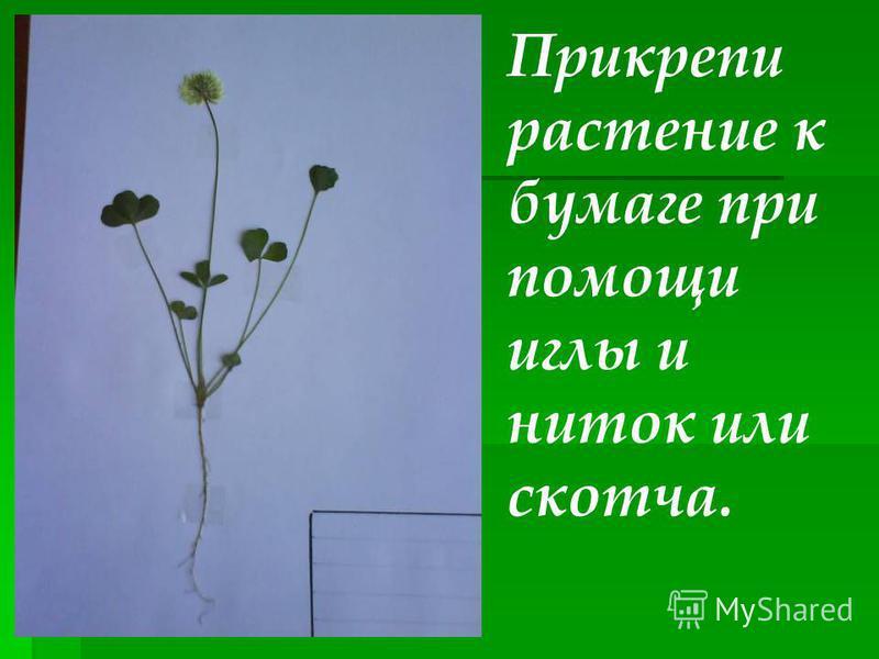Прикрепи растение к бумаге при помощи иглы и ниток или скотча.