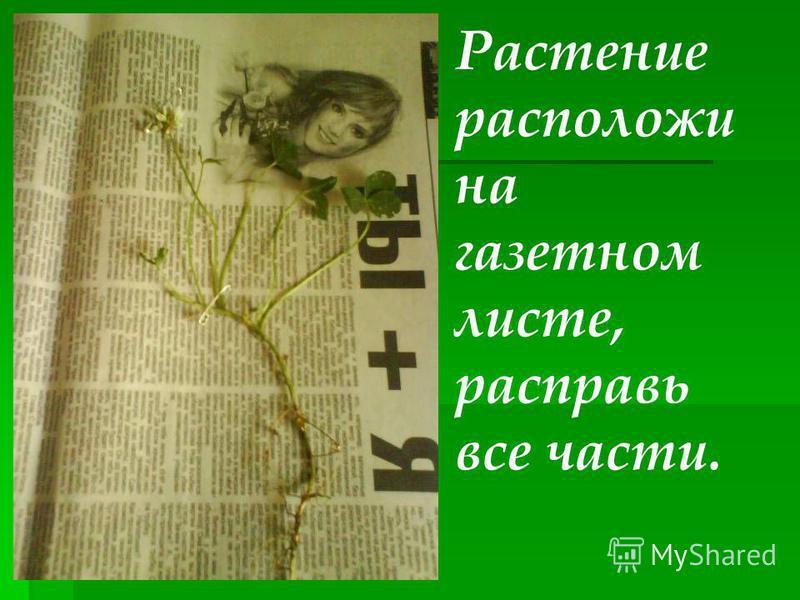 Растение расположи на газетном листе, расправь все части.