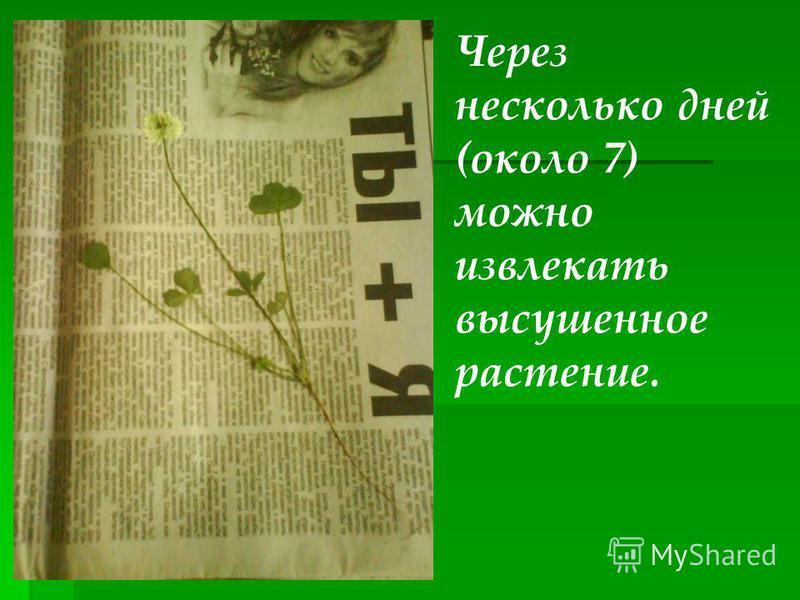 Через несколько дней (около 7) можно извлекать высушенное растение.