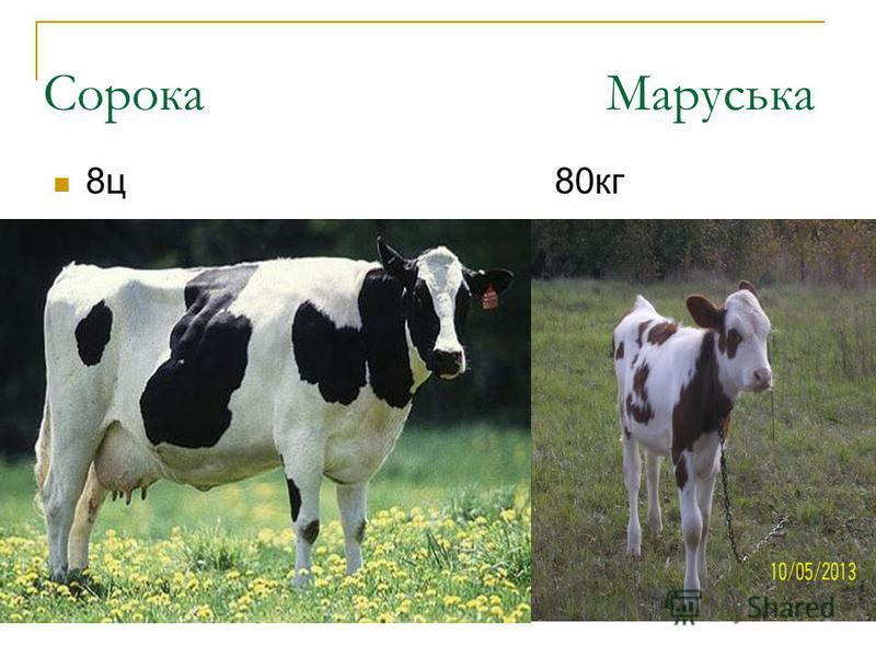 Сорока Маруська 8ц 80кг