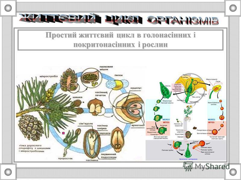 Життєвий цикл організмів Життєвий цикл організмів – період між однаковими фазами розвитку двох або більшої кількості послідовних поколінь простий простий – всі покоління не відрізняються одне від одного за будовою та способом розмноження, (покритонас
