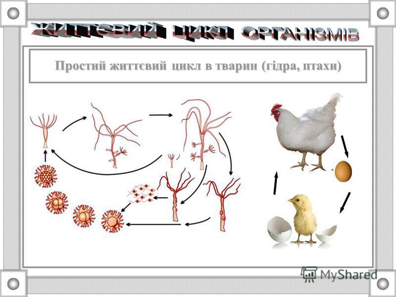 Простий життєвий цикл в голонасінних Простий життєвий цикл в голонасінних і покритонасінних і рослин