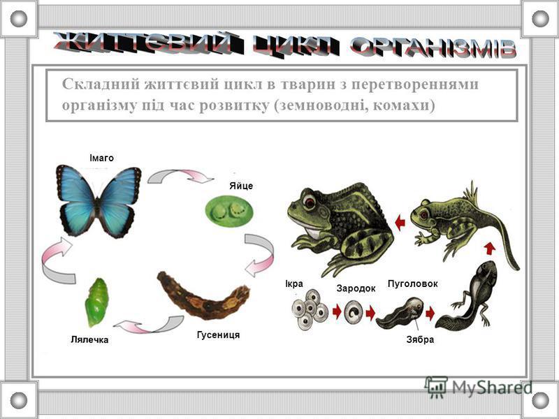 Простий життєвий цикл в тварин (гідра, птахи)
