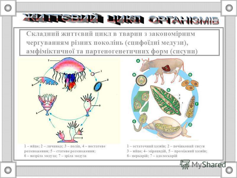 Складний життєвий цикл в тварин з перетвореннями організму під час розвитку (земноводні, комахи) Яйце Лялечка Гусениця Імаго Пуголовок Зародок Ікра Зябра
