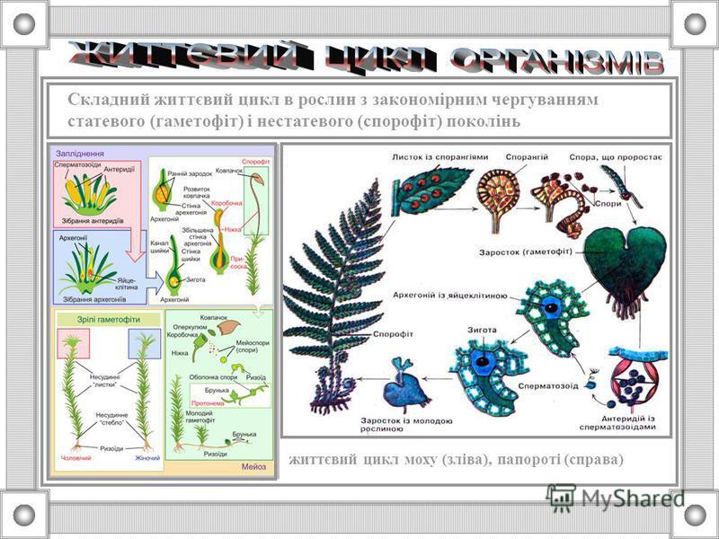Складний життєвий цикл в тварин з закономірним чергуванням різних поколінь (сцифоїдні медузи), амфіміктичної та партеногенетичних форм (сисуни) 1 – яйце; 2 – личинка; 3 – поліп, 4 – нестатеве розмноження; 5 – статеве розмноження; 6 – незріла медуза;