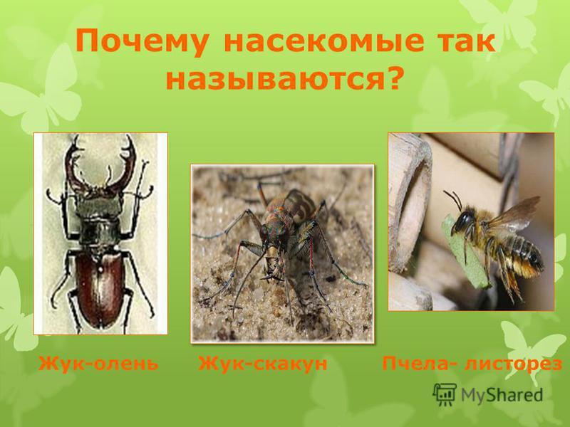 Почему насекомые так называются? Жук-олень Жук-скакун Пчела- листорез