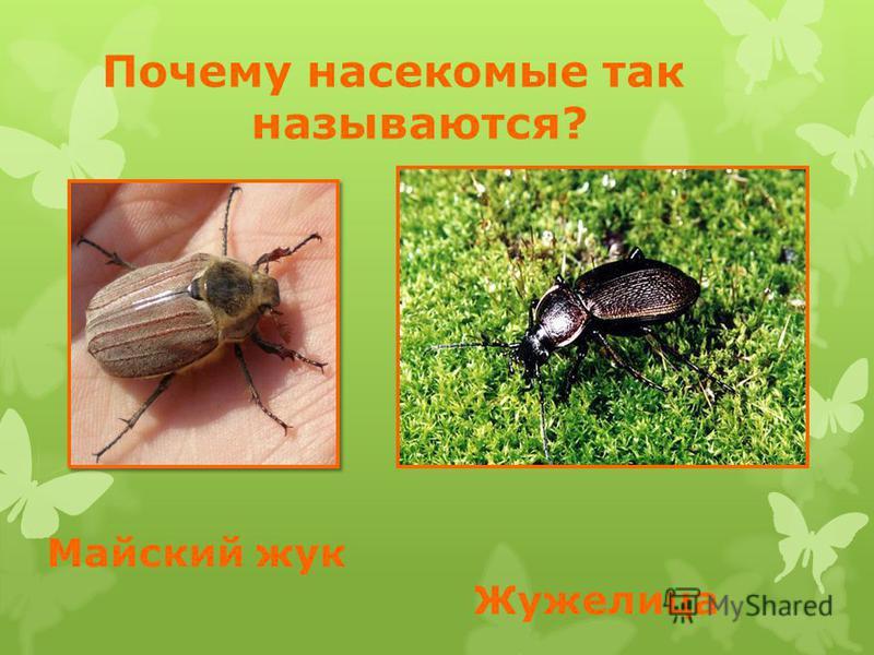 Майский жук Жужелица Почему насекомые так называются?