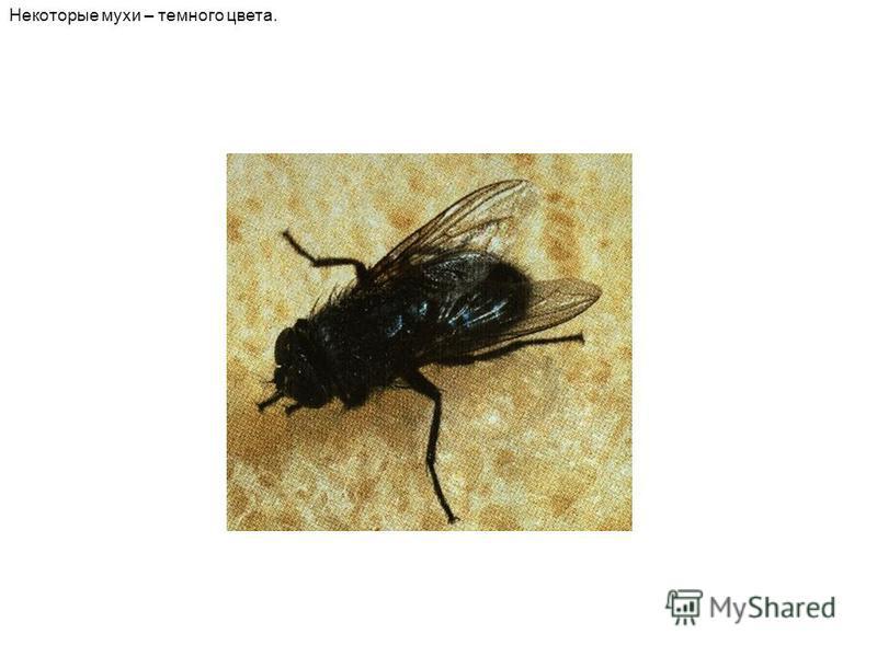 Некоторые мухи – темного цвета.