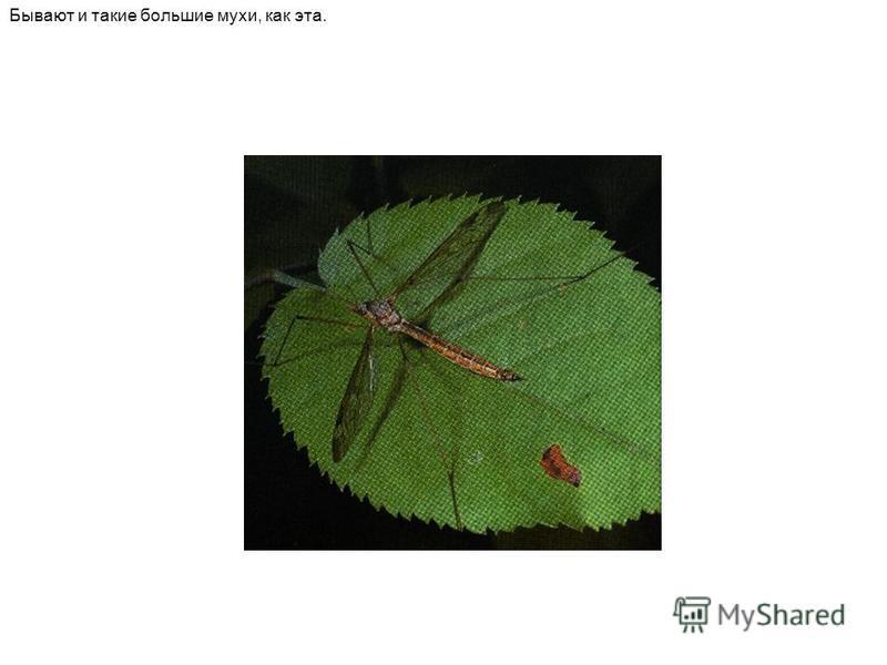 Бывают и такие большие мухи, как эта.