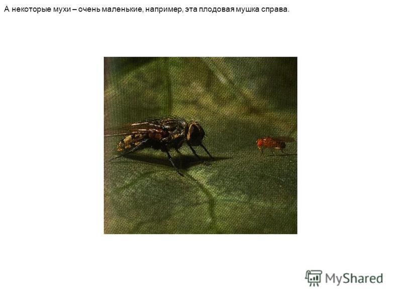 А некоторые мухи – очень маленькие, например, эта плодовая мушка справа.