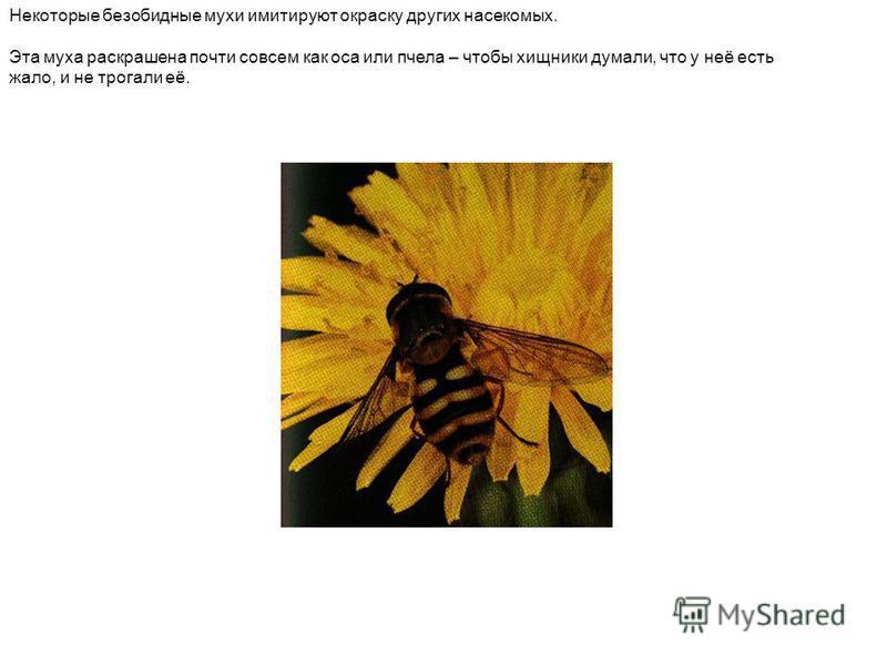 Некоторые безобидные мухи имитируют окраску других насекомых. Эта муха раскрашена почти совсем как оса или пчела – чтобы хищники думали, что у неё есть жало, и не трогали её.