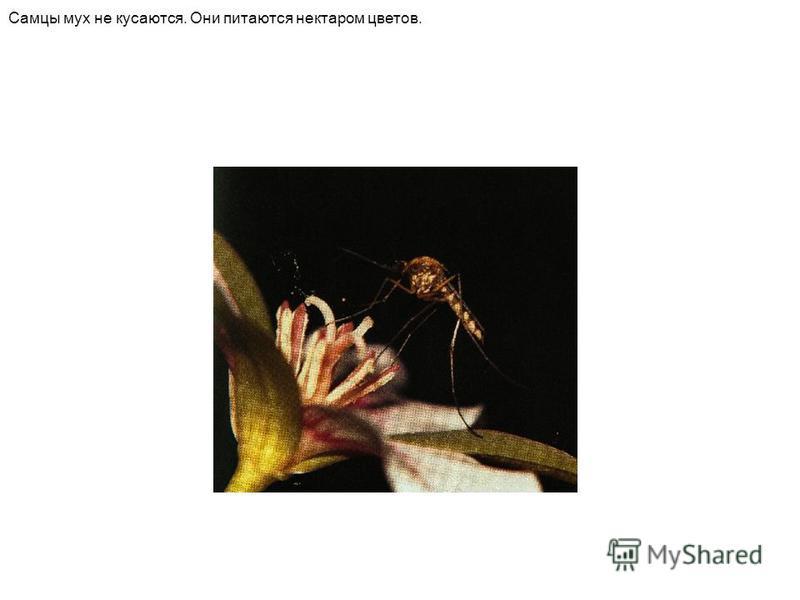 Самцы мух не кусаются. Они питаются нектаром цветов.