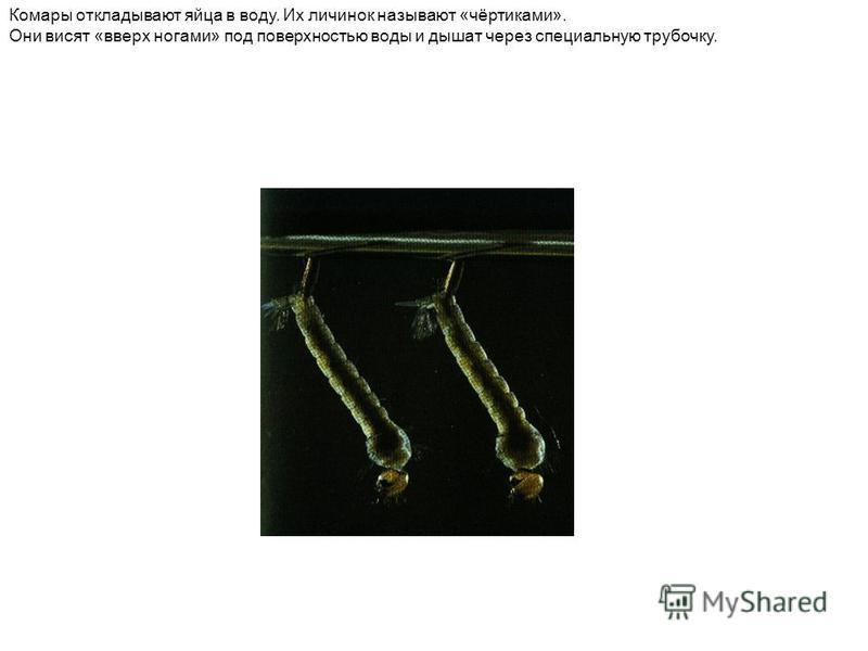 Комары откладывают яйца в воду. Их личинок называют «чёртиками». Они висят «вверх ногами» под поверхностью воды и дышат через специальную трубочку.