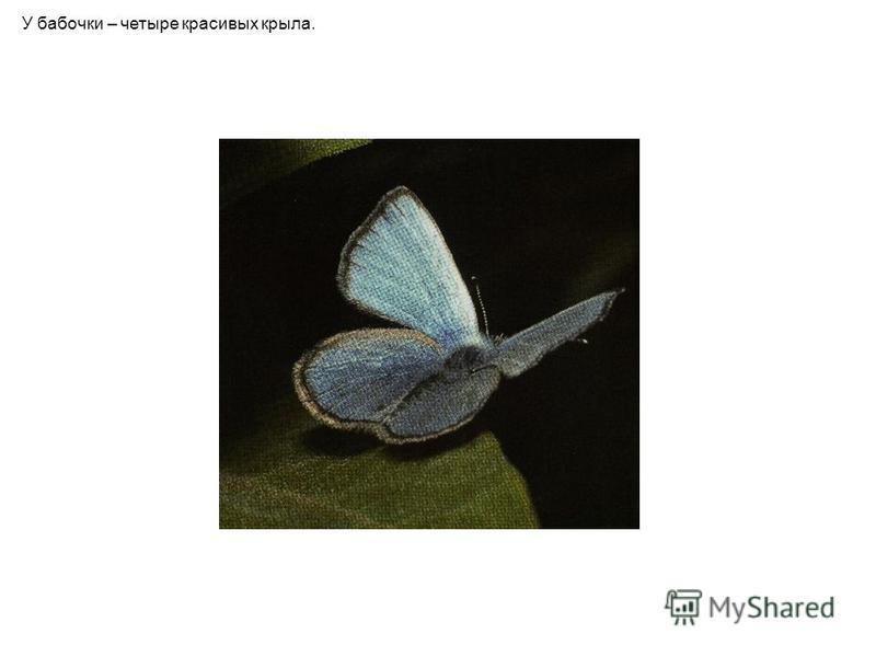 У бабочки – четыре красивых крыла.