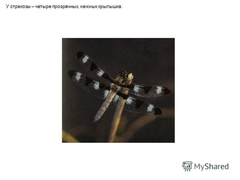 У стрекозы – четыре прозрачных, нежных крылышка.