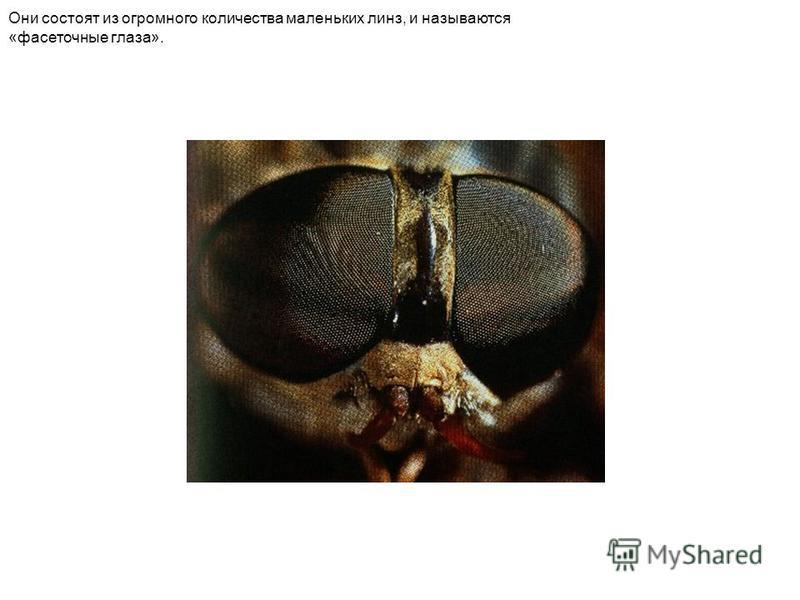 Они состоят из огромного количества маленьких линз, и называются «фасеточные глаза».