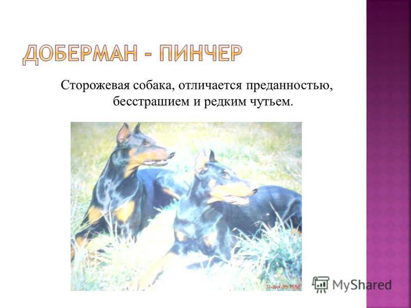 Сторожевая собака, отличается преданностью, бесстрашием и редким чутьем.