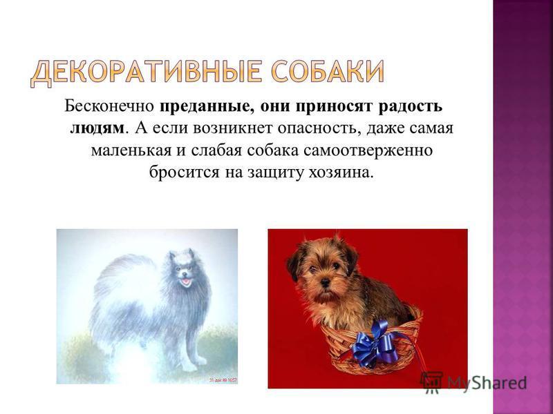 Бесконечно преданные, они приносят радость людям. А если возникнет опасность, даже самая маленькая и слабая собака самоотверженно бросится на защиту хозяина.
